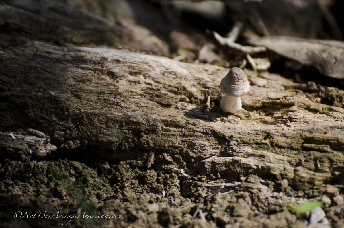 A lone mushroom, Chirije Forest, Coastal Ecuador