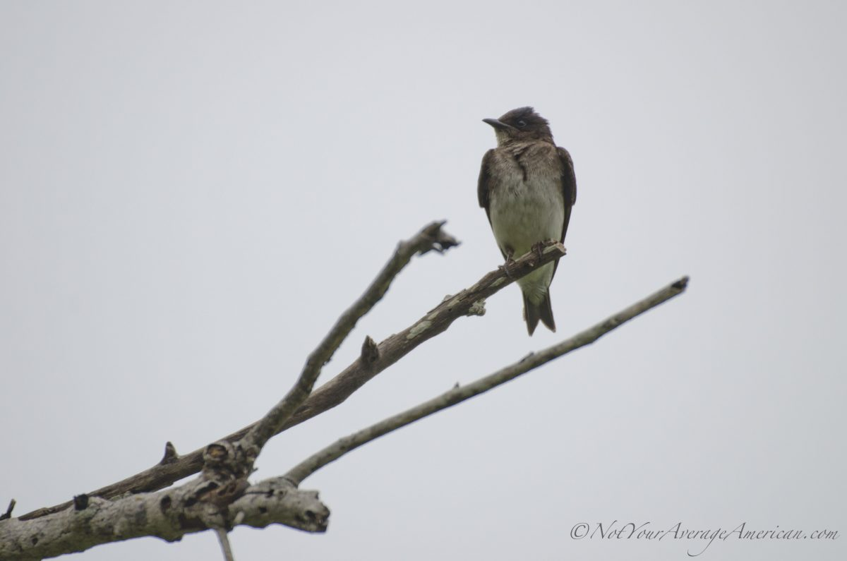 A Southern Rough-winged Swallow, Chirije Lodge, Manabi, Ecuador