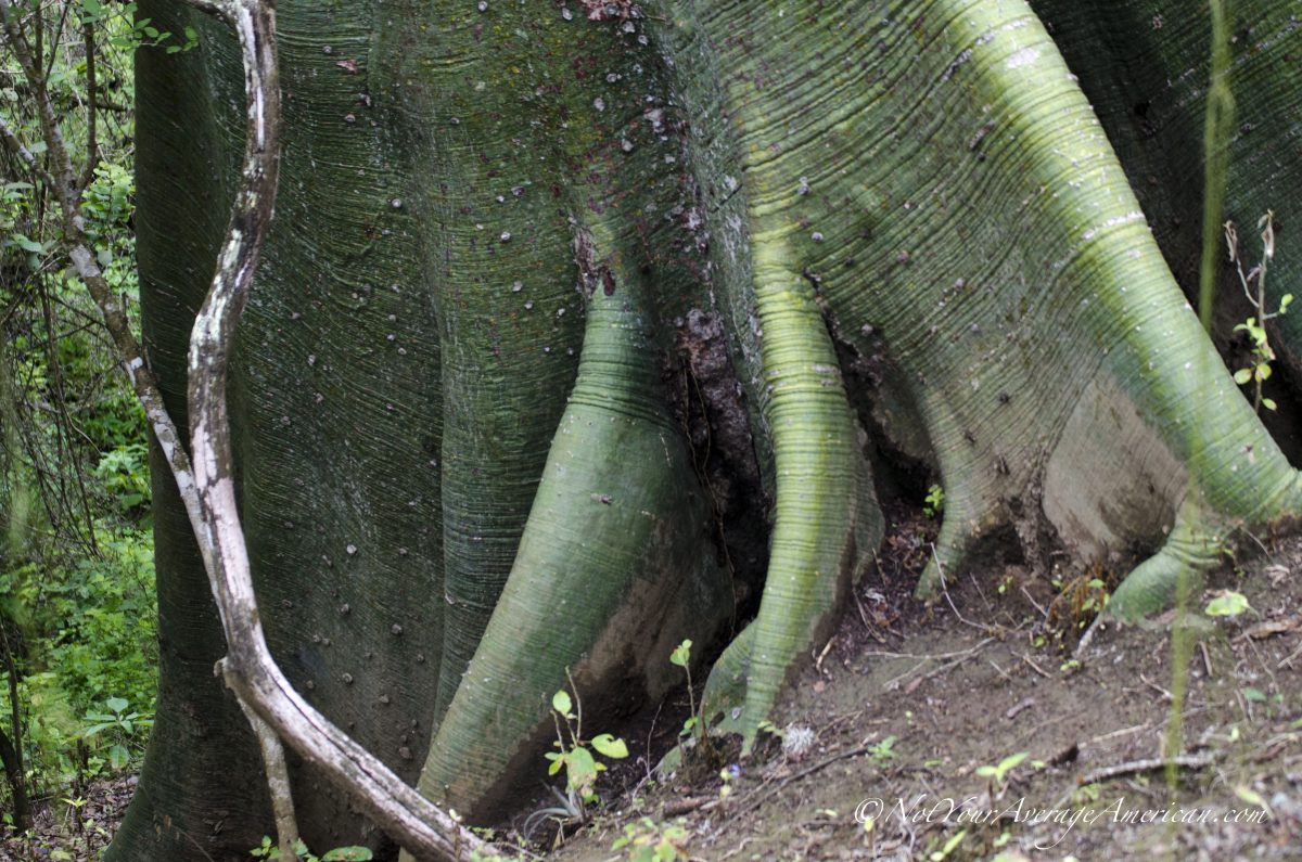 Ceiba tree roots, Chirije Dry Forest, Coastal Ecuador