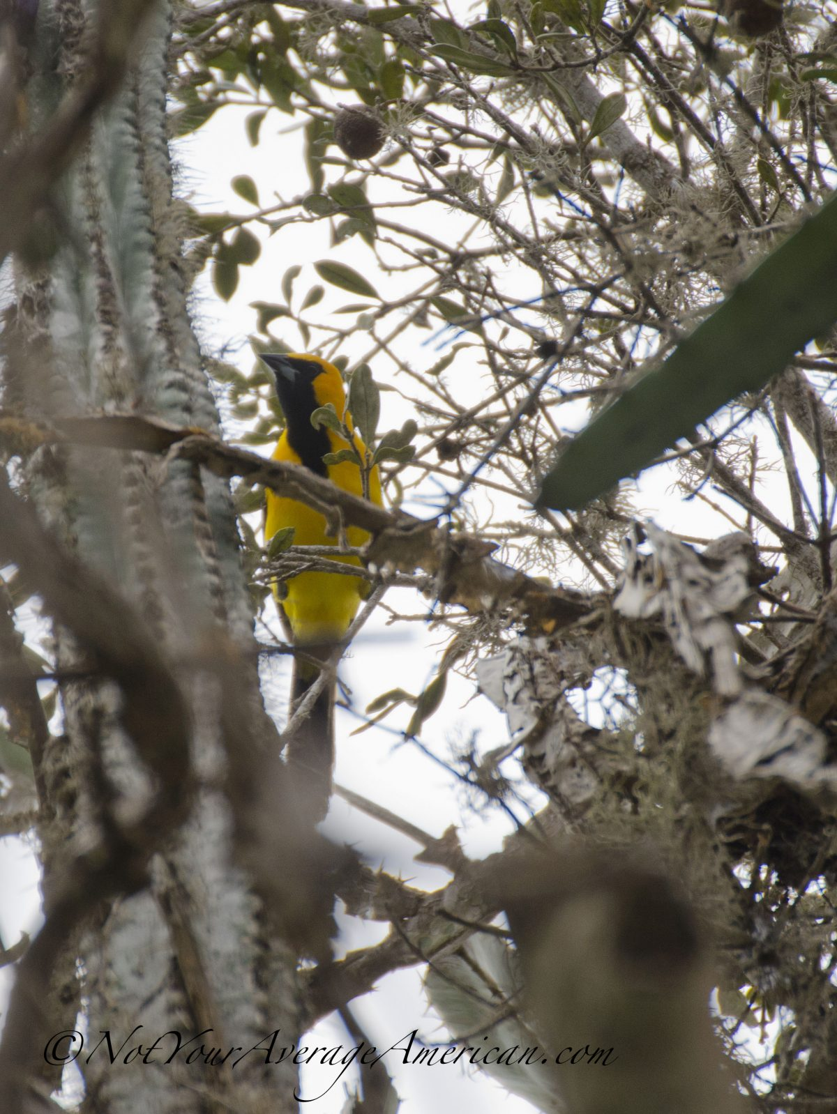 A Yellow-tailed Oriole, Chirije Dry Forest, Coastal Ecuador