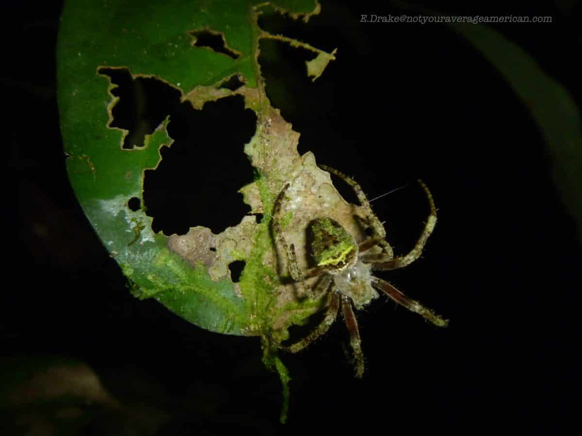 Leaf-like Spider