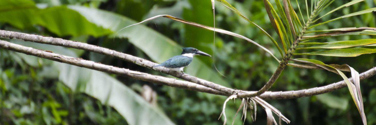 The Amazon Kingfisher
