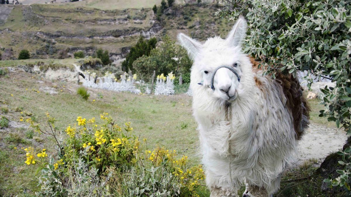 A Llama On the Trail
