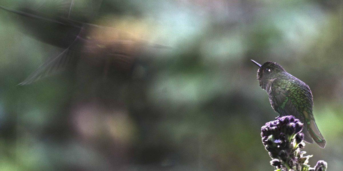 Birding in Papallacta