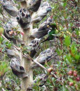 Puffleg Hummingbird