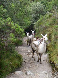 Kick-butt llamas