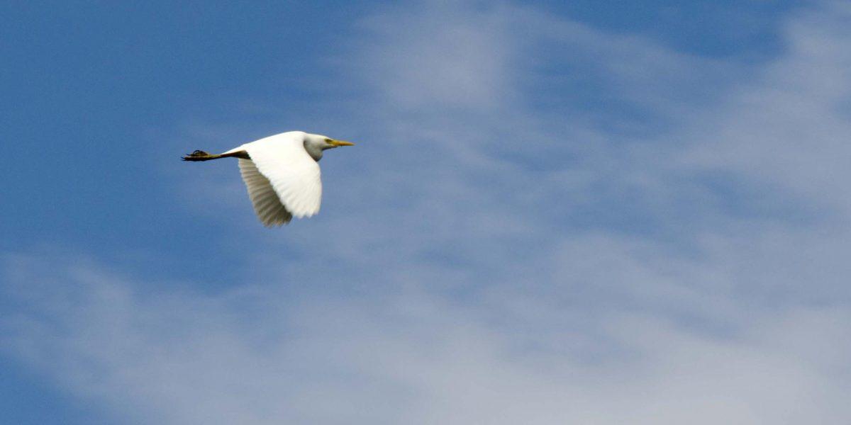 Cattle Egret, Laguna Cuicocha, Ecuador