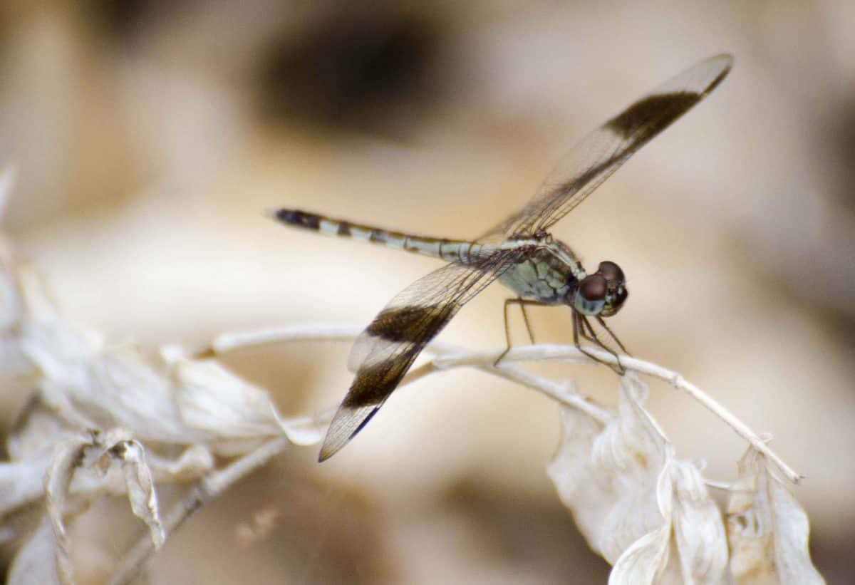 Dragonfly, Bosque Cerro Blanco, Guayaquil, Ecuador