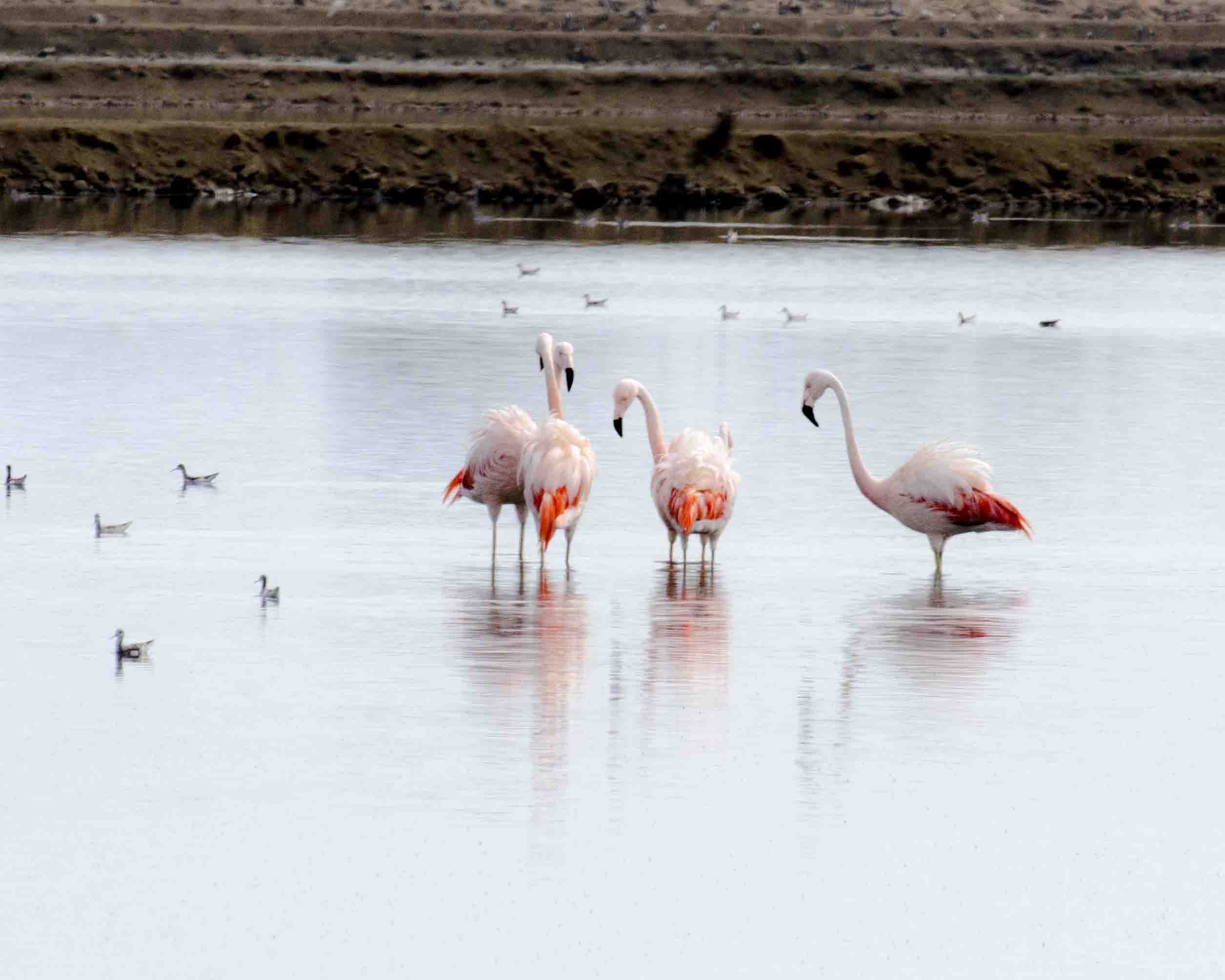Flamingos in Salinas