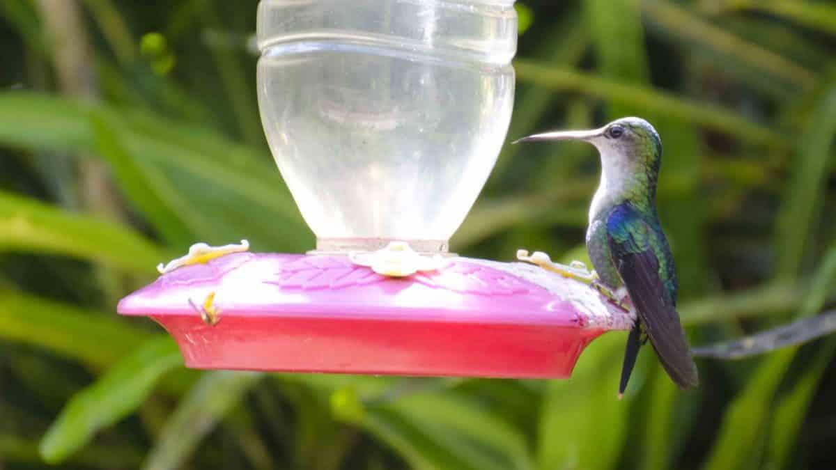 Alambi, Hummingbirds