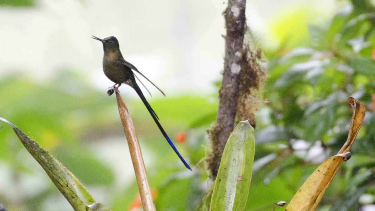 My First Violet-tailed Sylph Photo at Bellavista Lodge, Ecuador | ©Angela Drake