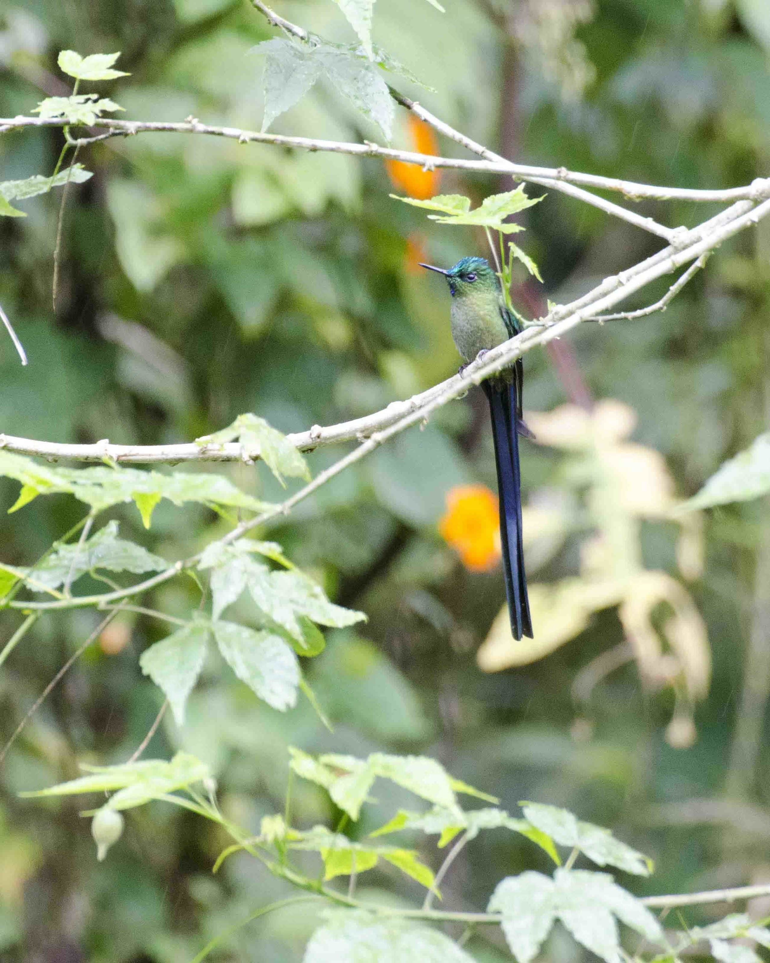 Long-tailed Sylph, Cosanga, Ecuador
