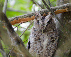 Peruvian Screech Owl