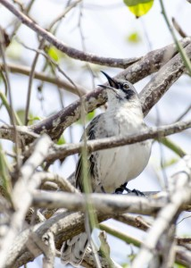 Galapagos Mockingbird, Interpretation Center, San Cristobal