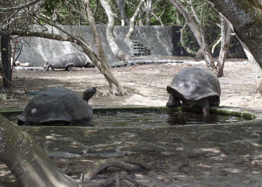 Tortoises need small ponds of water