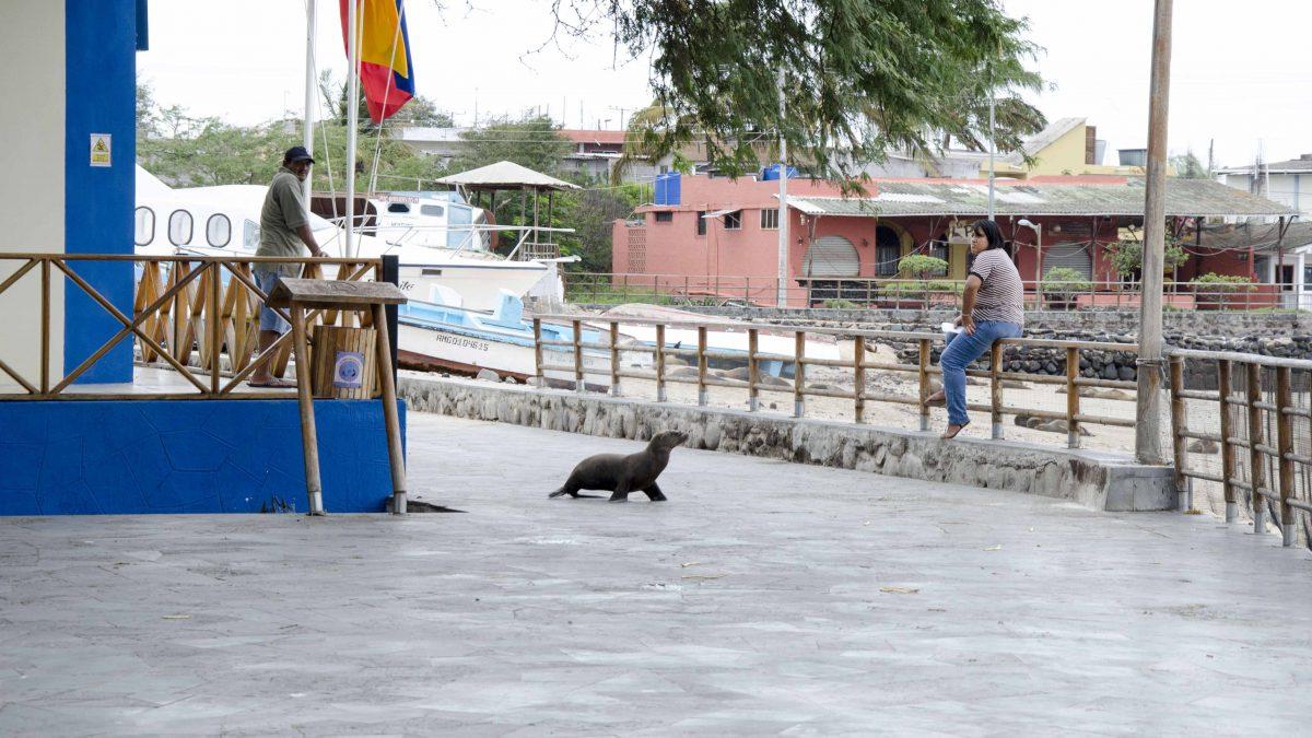 Seal Walking the Malecon, Puerto Baquerizo Moreno, San Cristobal, the Galapagos, Ecuador