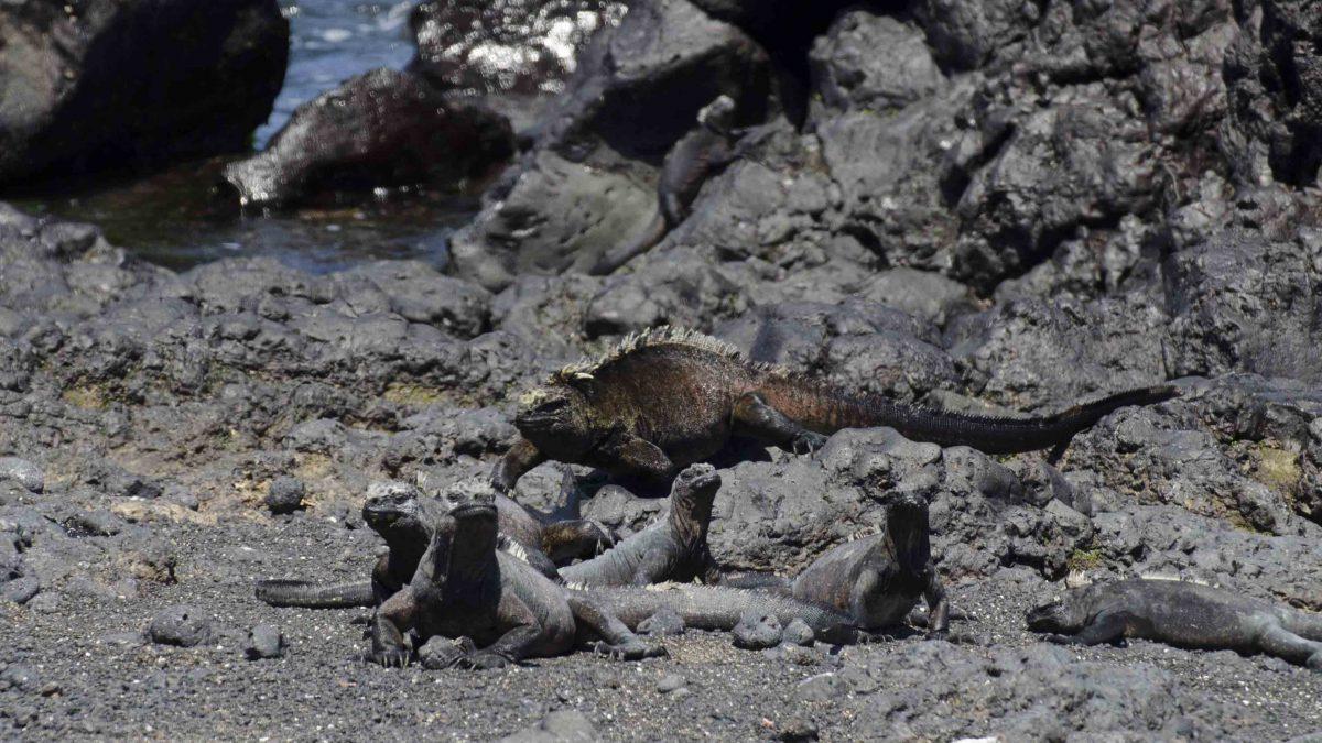Marine Iguanas, Las Tintoreras, Isla Isabela, the Galapagos