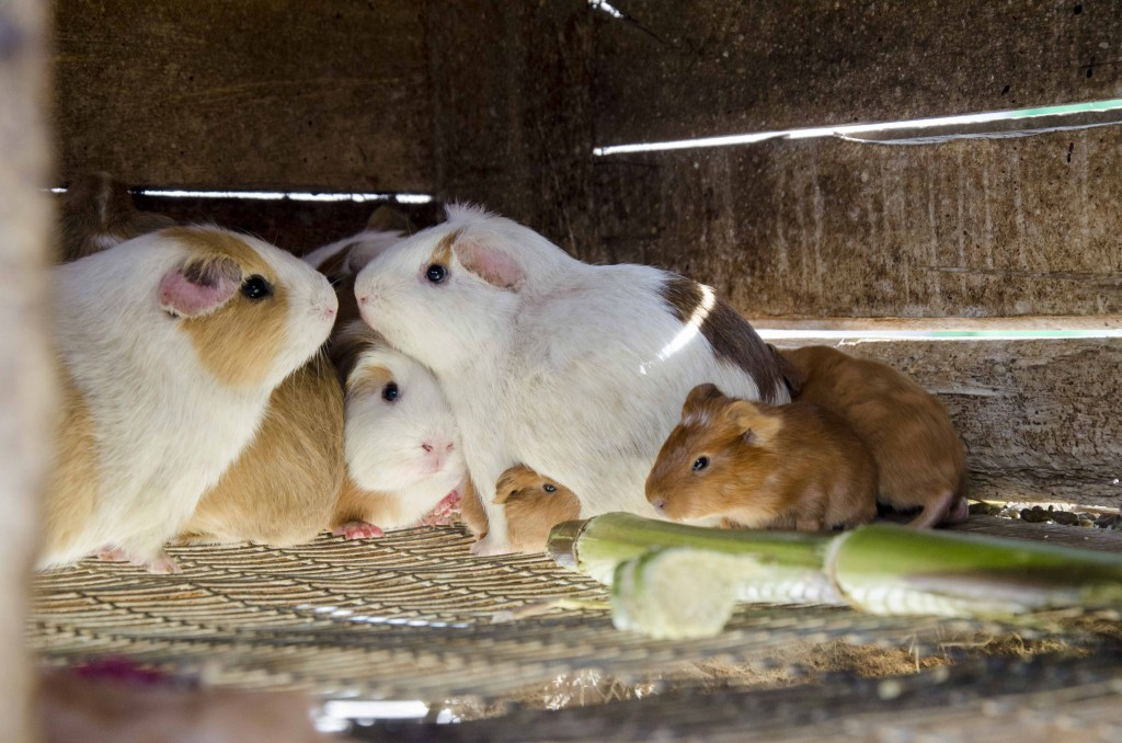 Mothers and Young, Guinea Pigs
