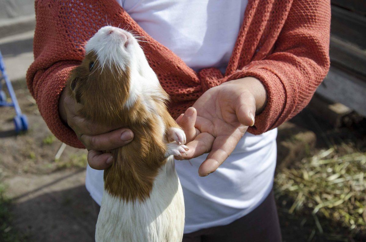 Cuy grow to be large, Raising Guinea Pig, Oyambarillo, Ecuador