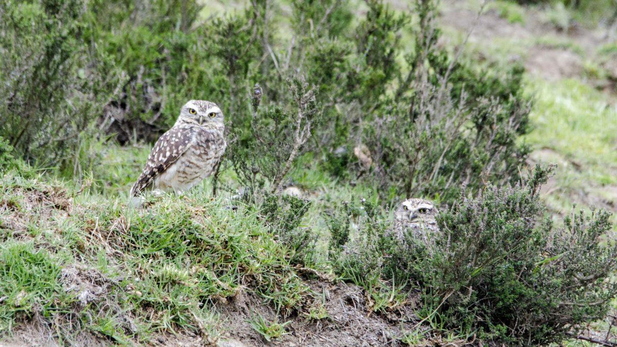 Burrowing Owls – Cochasqui