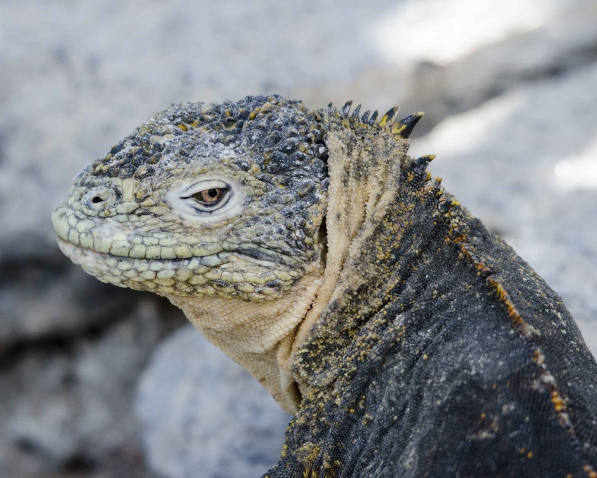 Golden Iguana, South Plaza Island