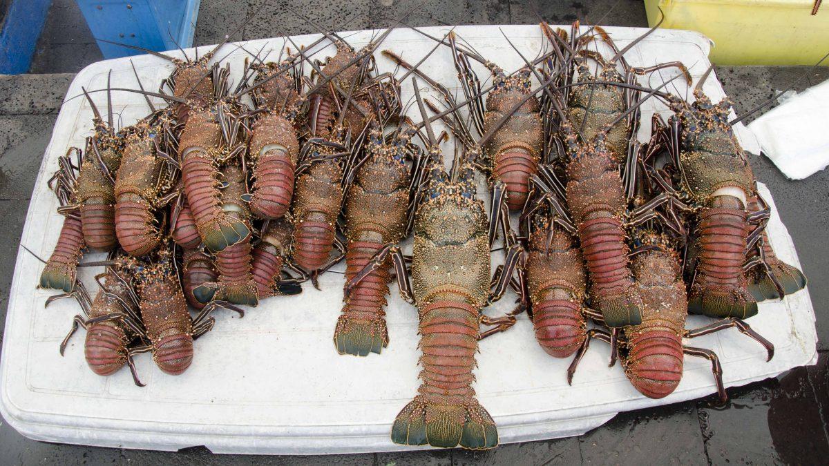 Fresh Lobster, Puerto Ayora, San Cruz Island, The Galapagos