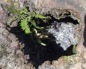 Fern at a Volcanic Vent