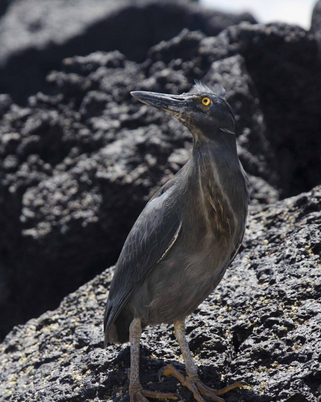 Lava Heron, Santiago Island, the Galapagos.