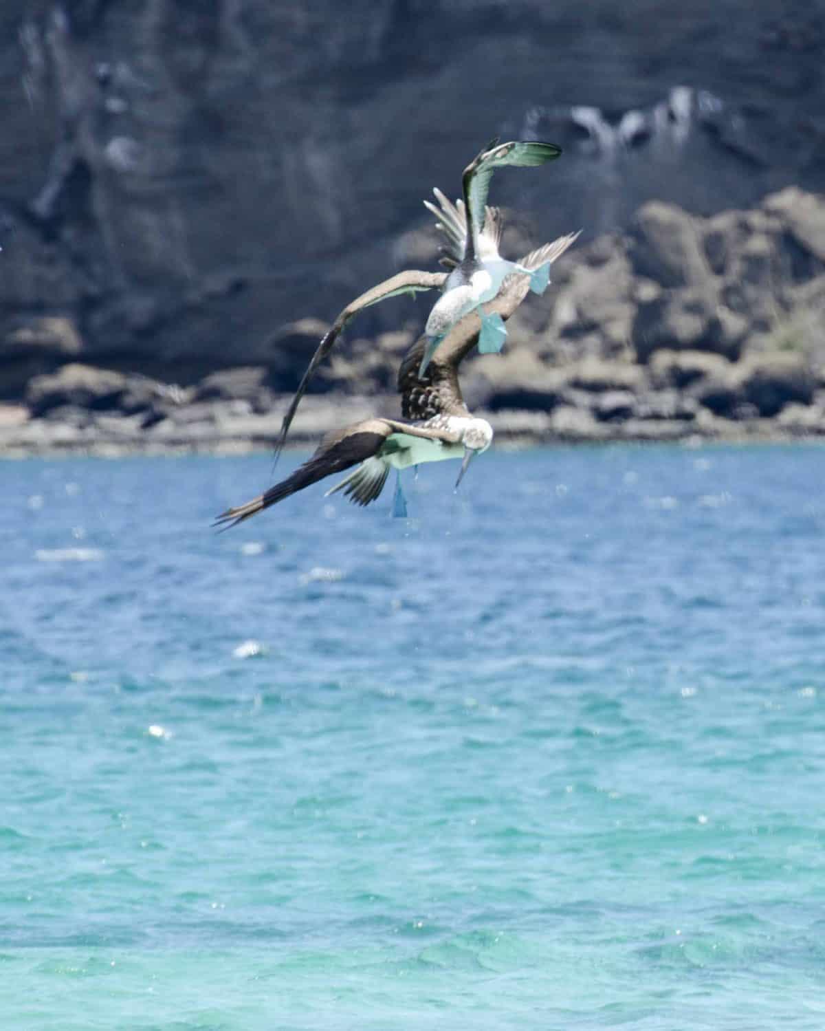 Blue-footed Boobies, Santiago Island, the Galapagos.