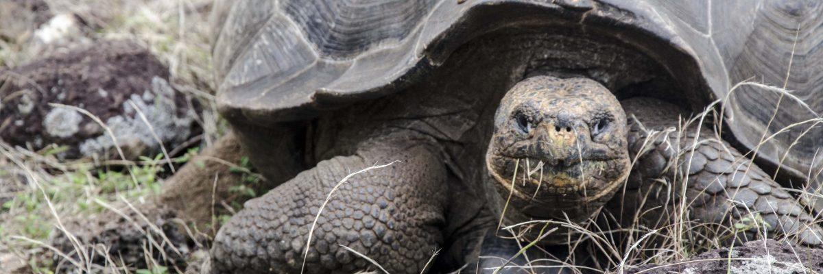 Galapagos Tortoises on San Cristobal