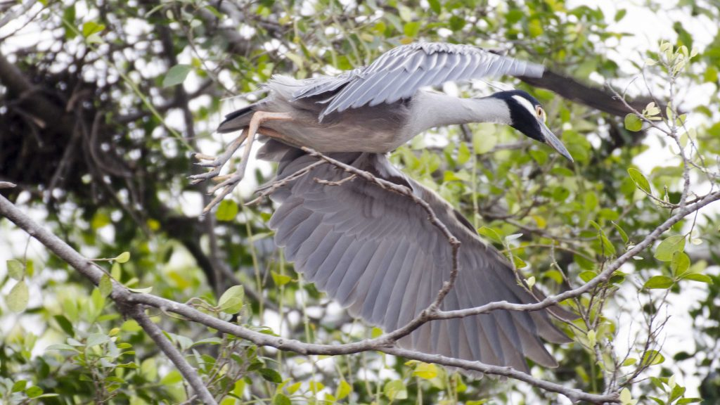 A Night Heron roosts near the restaurants on the Malecon