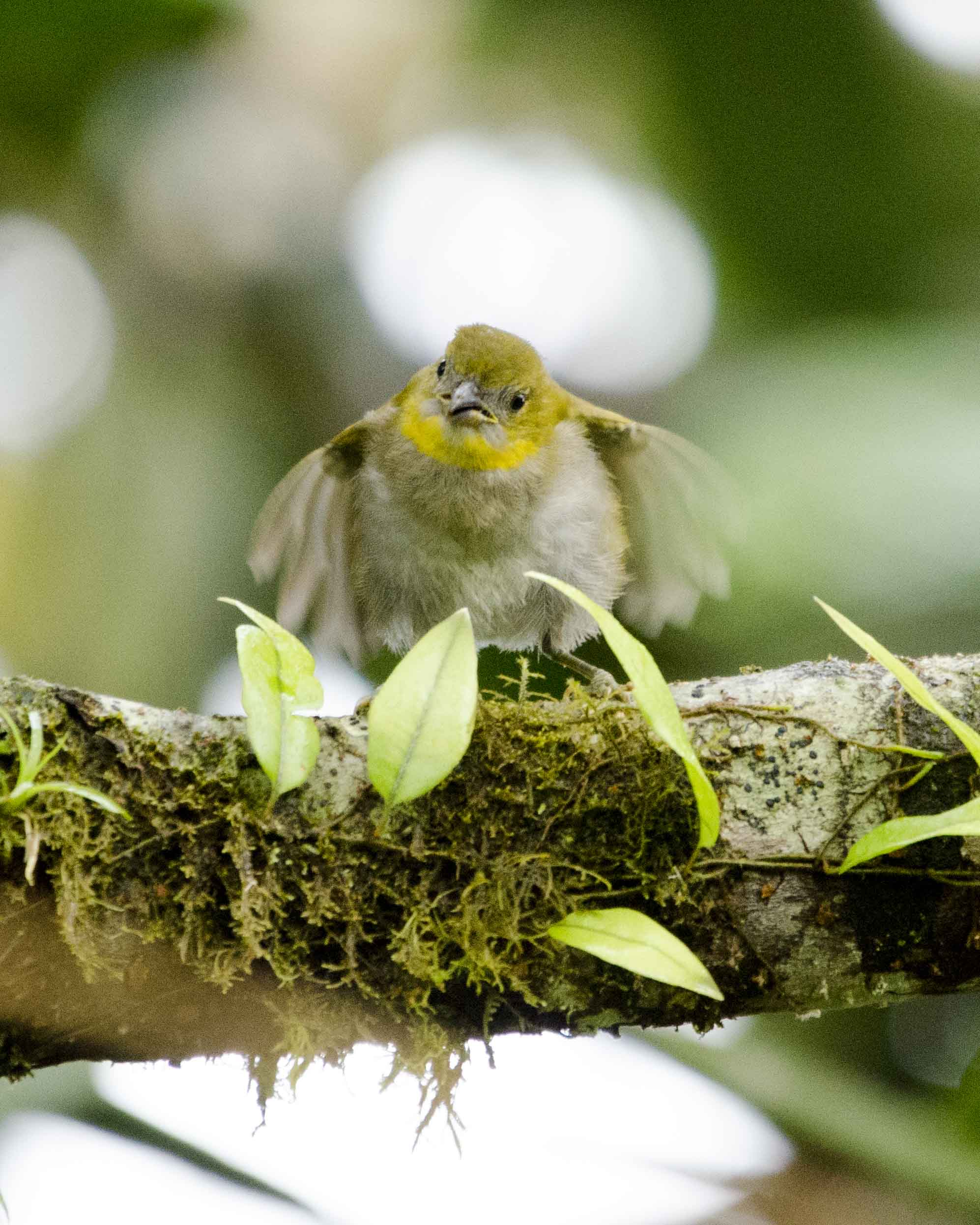 Yellow-throated Bush Tanager, San Jorge de Milpe