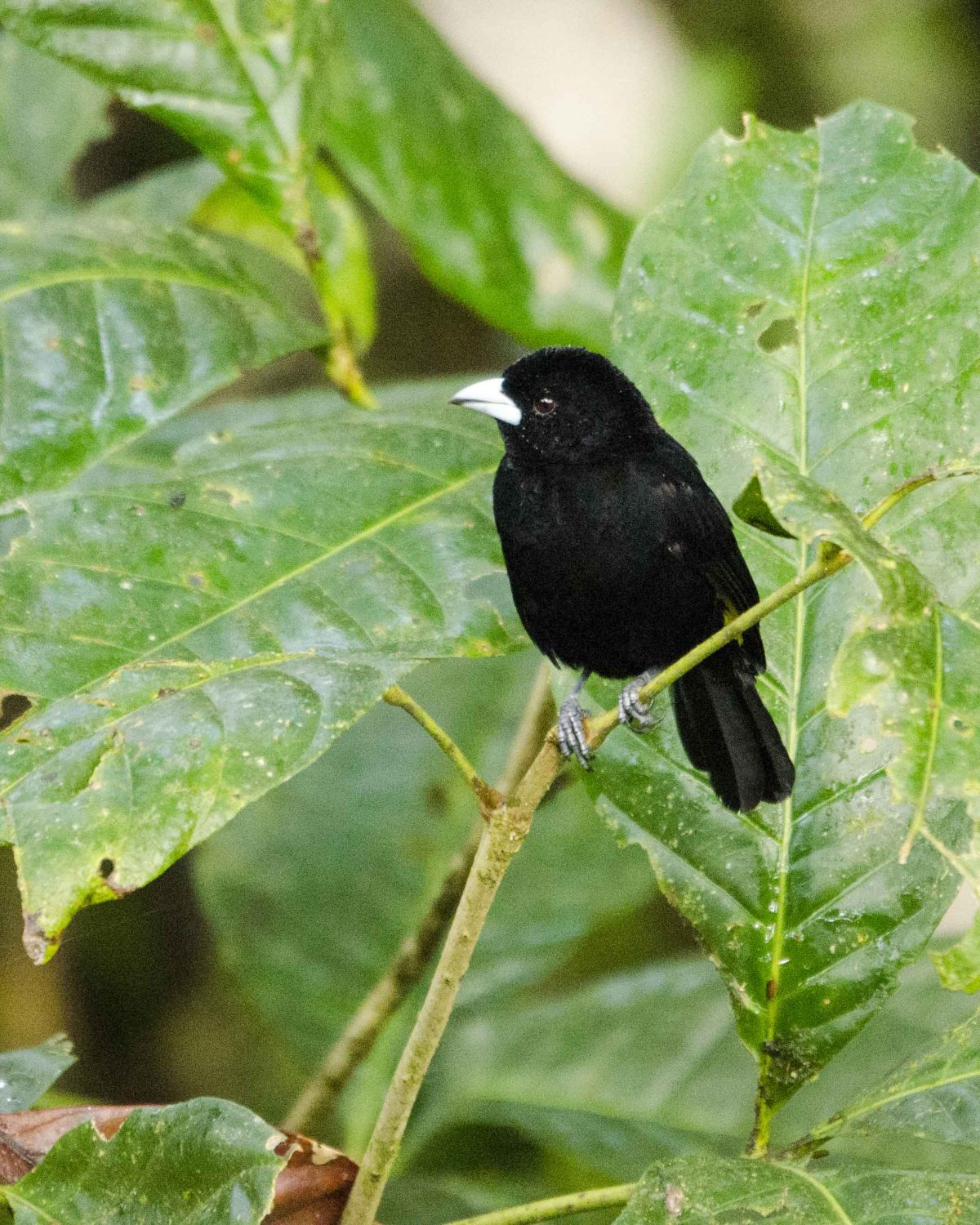 Lemon-rumped Tanager, San Jorge de Milpe