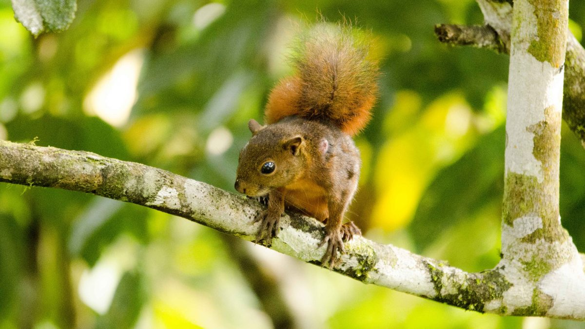 Red Squirrel, San Jorge de Milpe, Ecuador