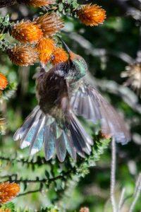 Star of Chimborazo Hummingbird