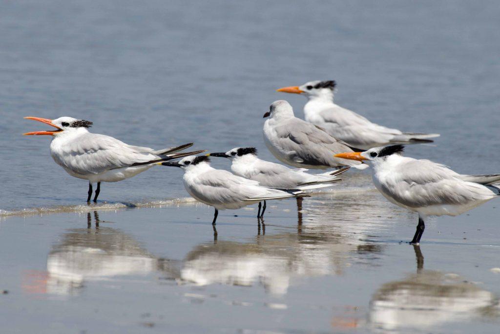 Terns, Santa Elena Province