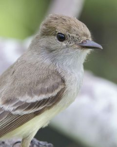 A Galapagos Flycatcher, Interpretation Center, San Cristobal