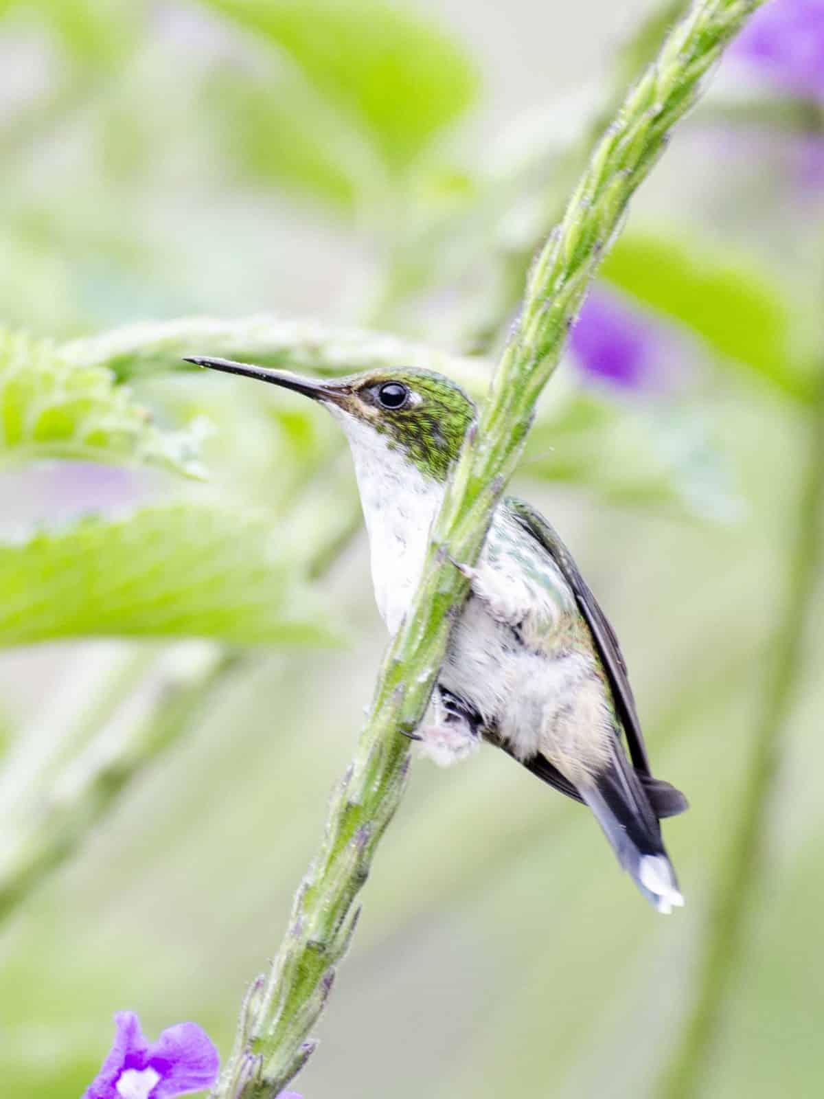 Purple-bibbed Whitetip, female hummingbird | ©Angela Drake