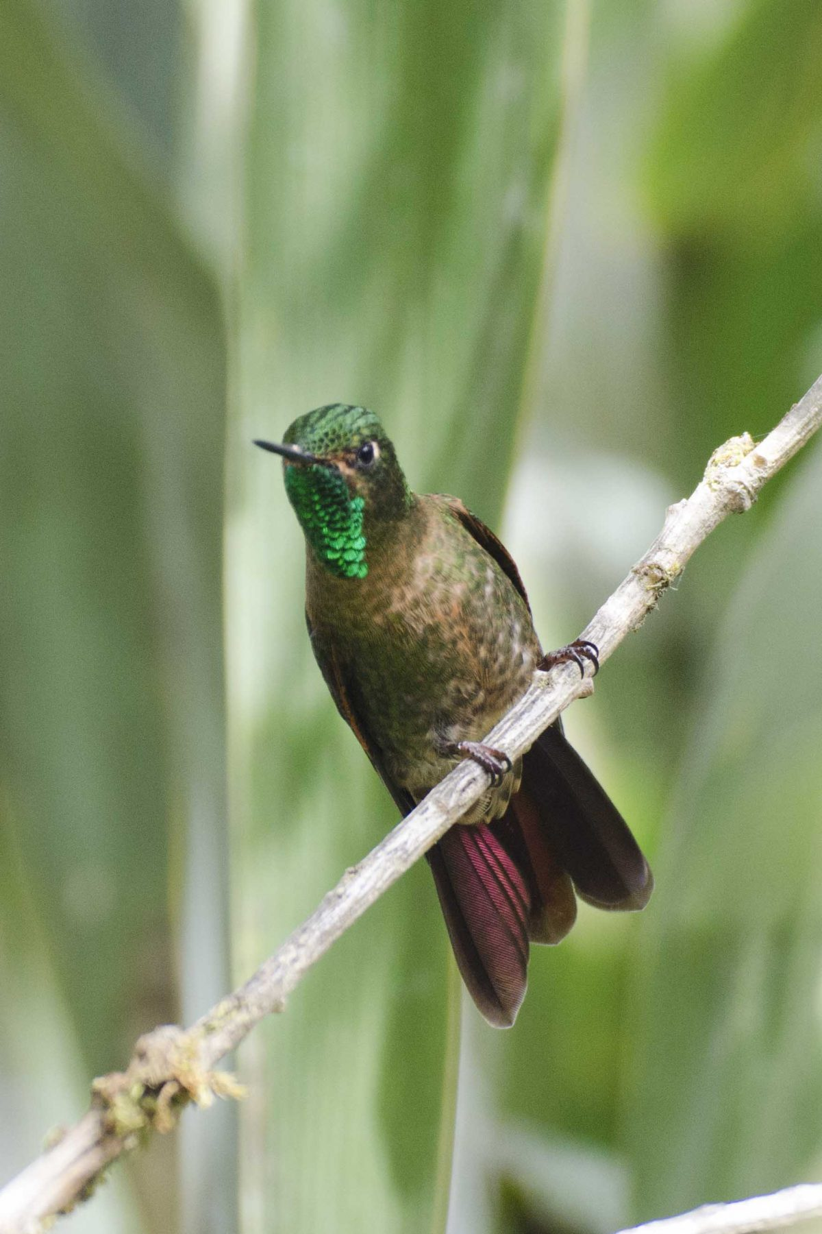 Tyrian Metaltail is one of the smallest  hummingbirds at the Yanacocha Reserve, Quito, Ecuador | ©Angela Drake