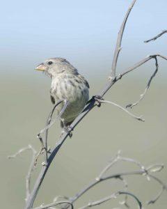 Puerto Chino, Darwin's Finch
