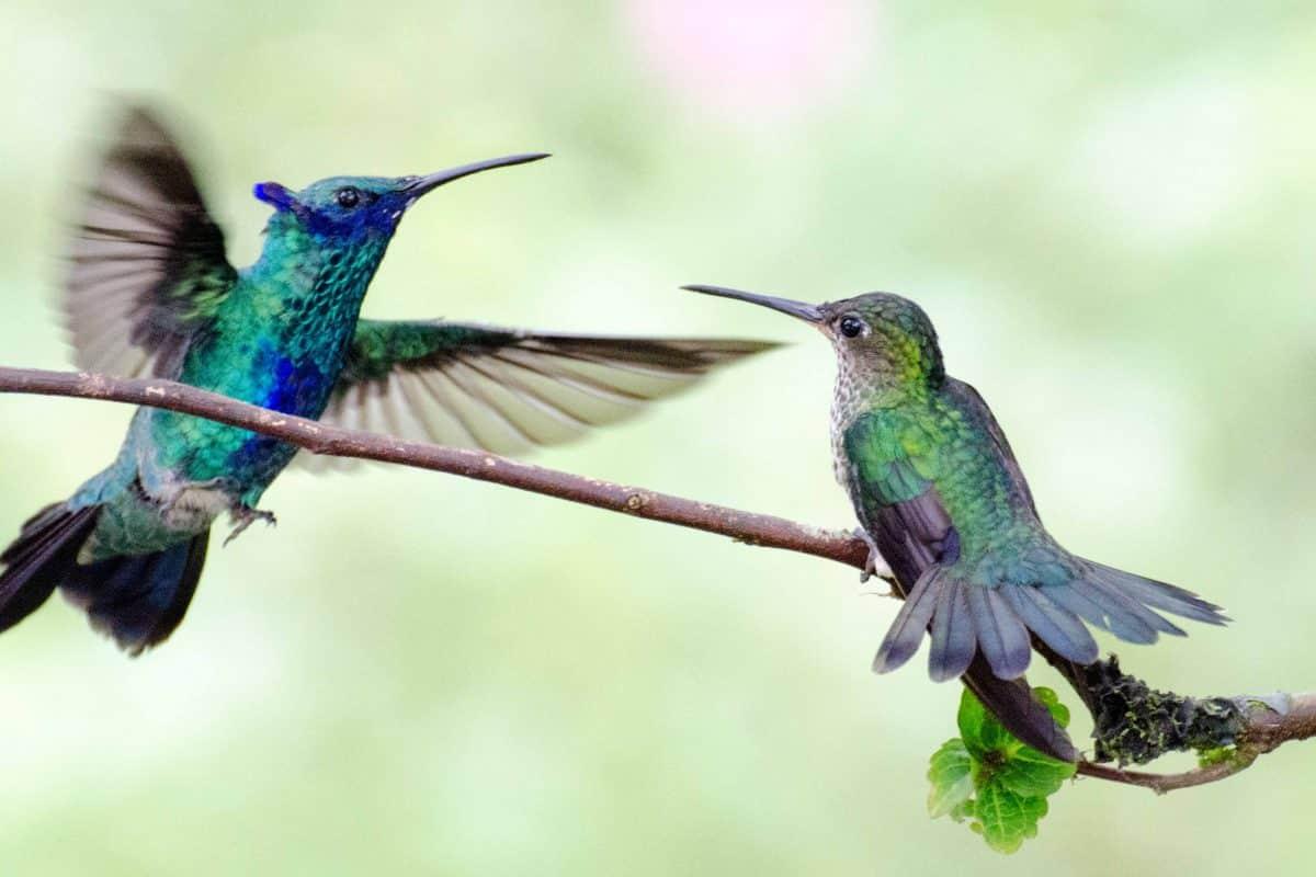 A Sparkling Violetear Hummingbird Attacks a Many-spotted Hummingbird, Napo Province, Ecuador | ©Angela Drake /Ecuador Por Mis Ojos