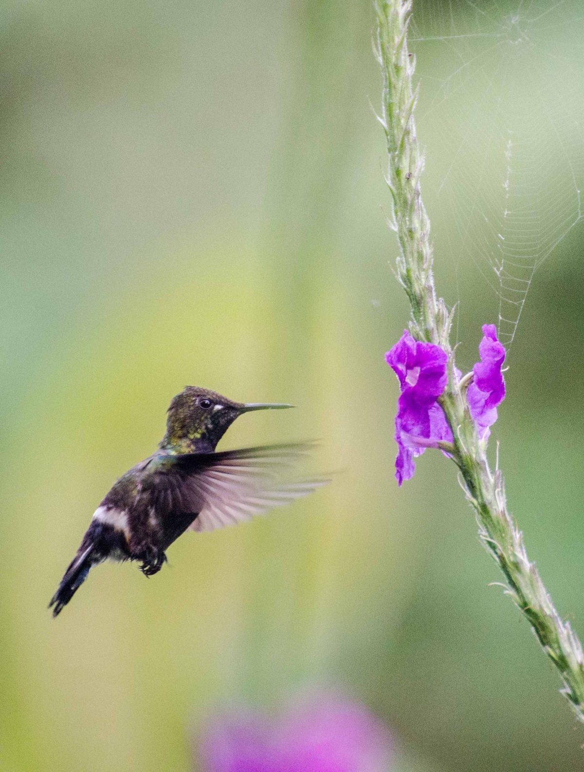 Female Wire-crested Thorntail Hummingbird, Napo Province, Ecuador | ©Angela Drake / Ecuador Por Mis Ojos