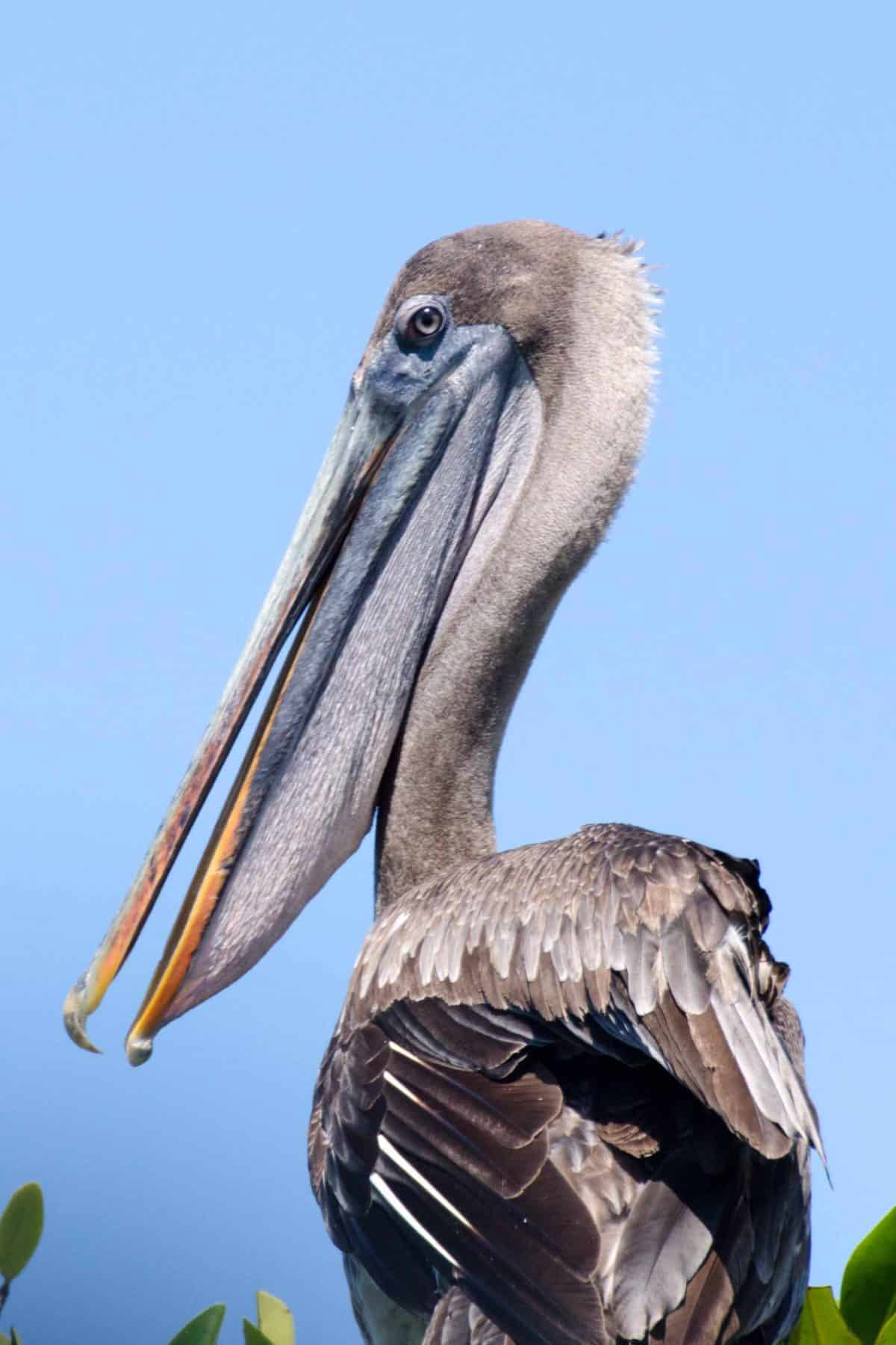 Brown Pelican, Isabela Island, The Galapagos, Ecuador   ©Angela Drake / Not Your Average American