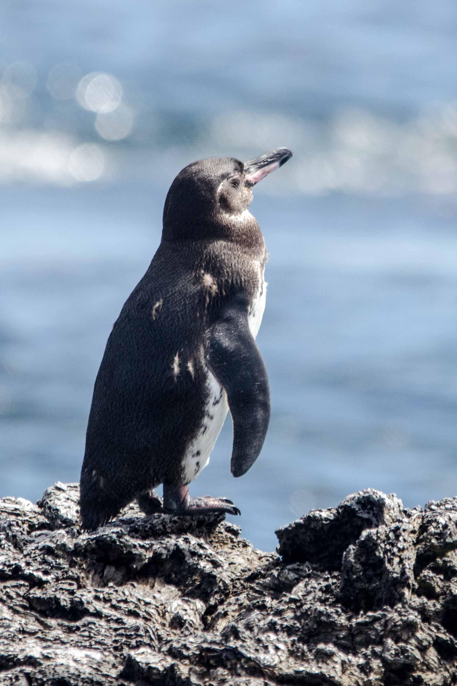 Galapagos Penguin, Isabela Island, The Galapagos, Ecuador   ©Angela Drake / Not Your Average American