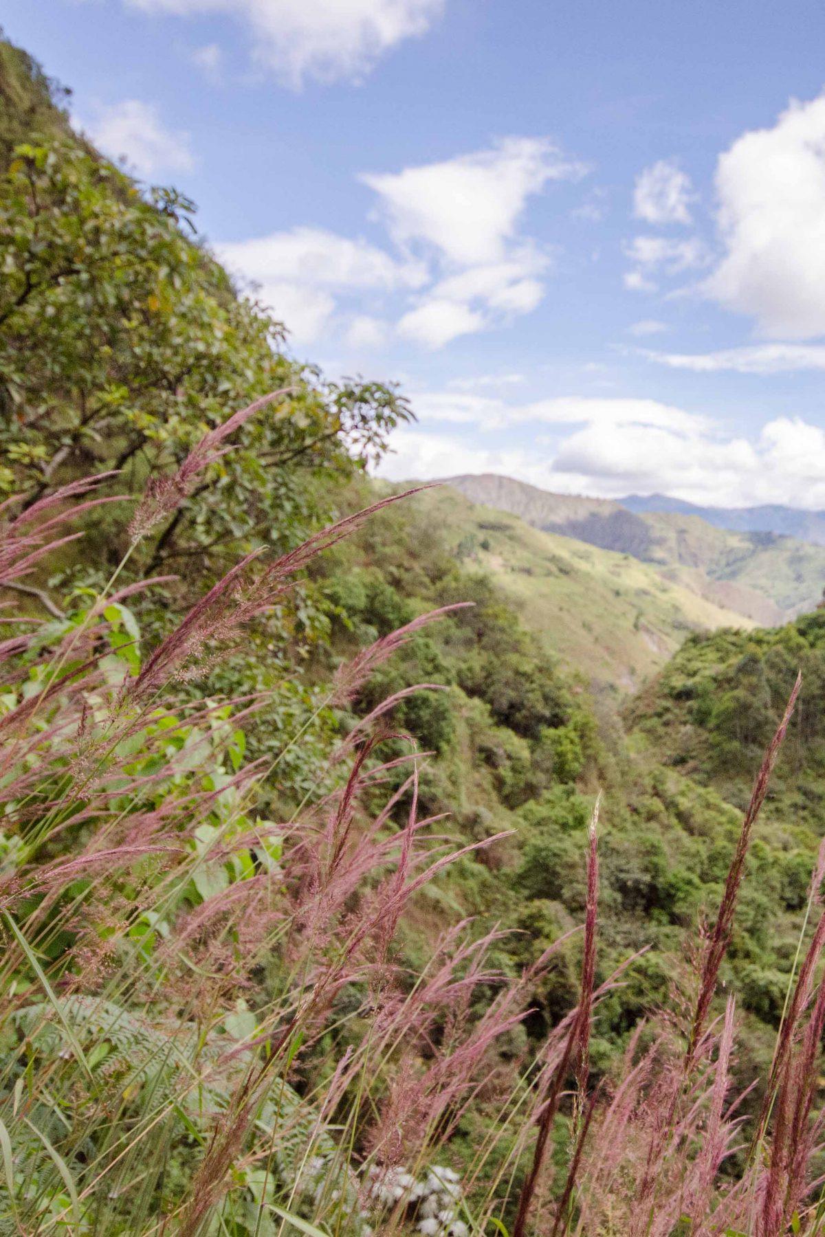 Purple Grass, Loja Province, Ecuado