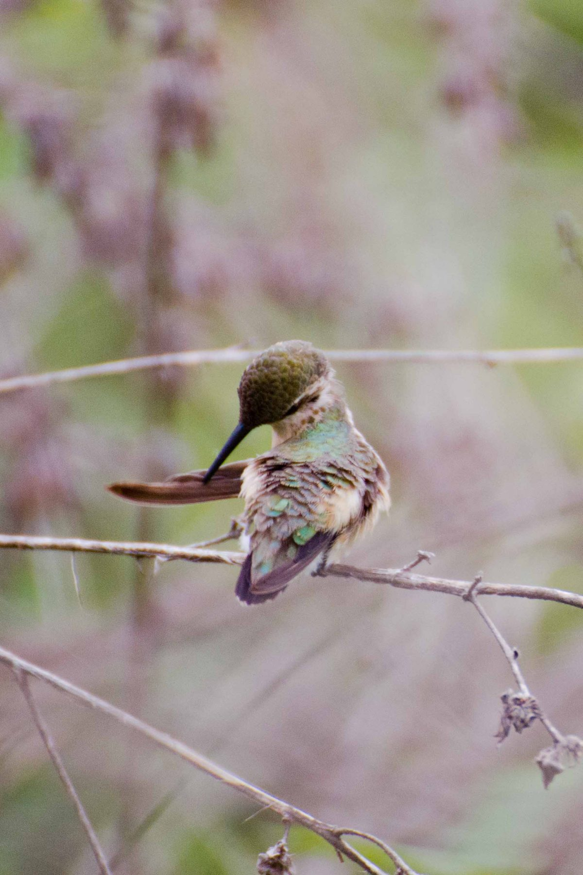 Little Woodstar Hummingbird, Chirije, Ecuador | ©Angela Drake / Not Your Average American
