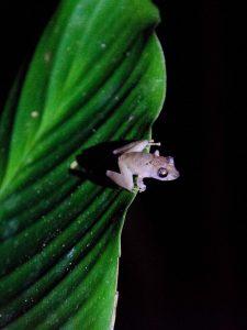 Pastaza Province, Frog