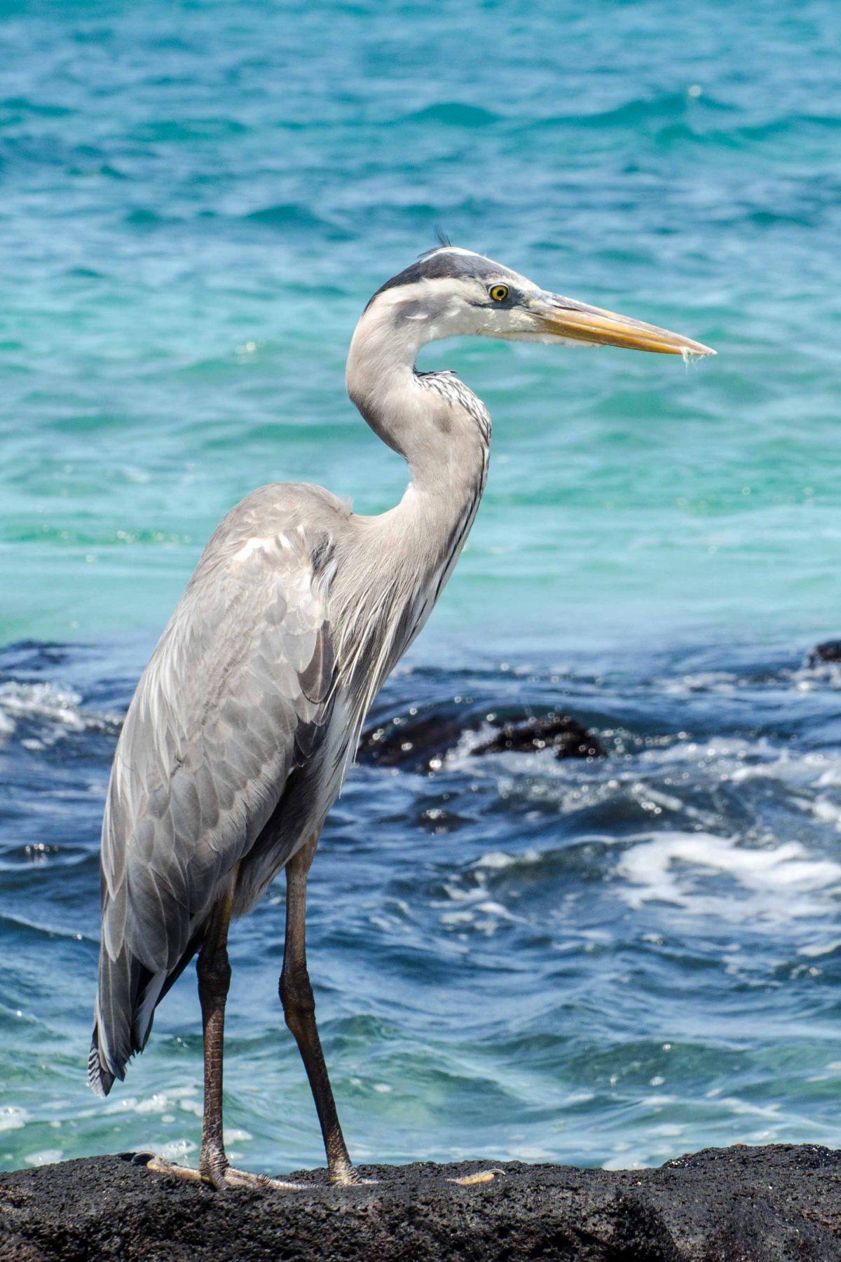 Great Blue Heron, San Cristobal Island, the Galapagos, Ecuador | ©Angie Drake