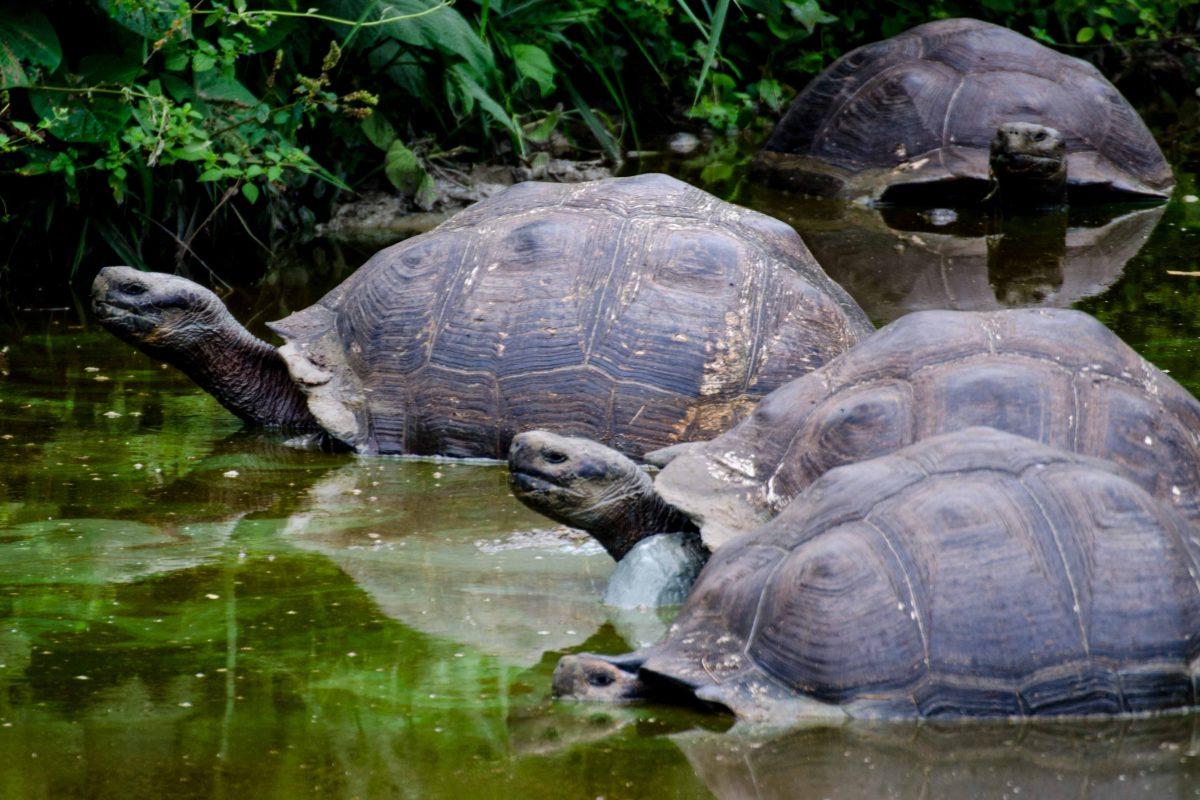 Tortoises in the Wild, Santa Cruz Island, Galapagos | © Angela Drake