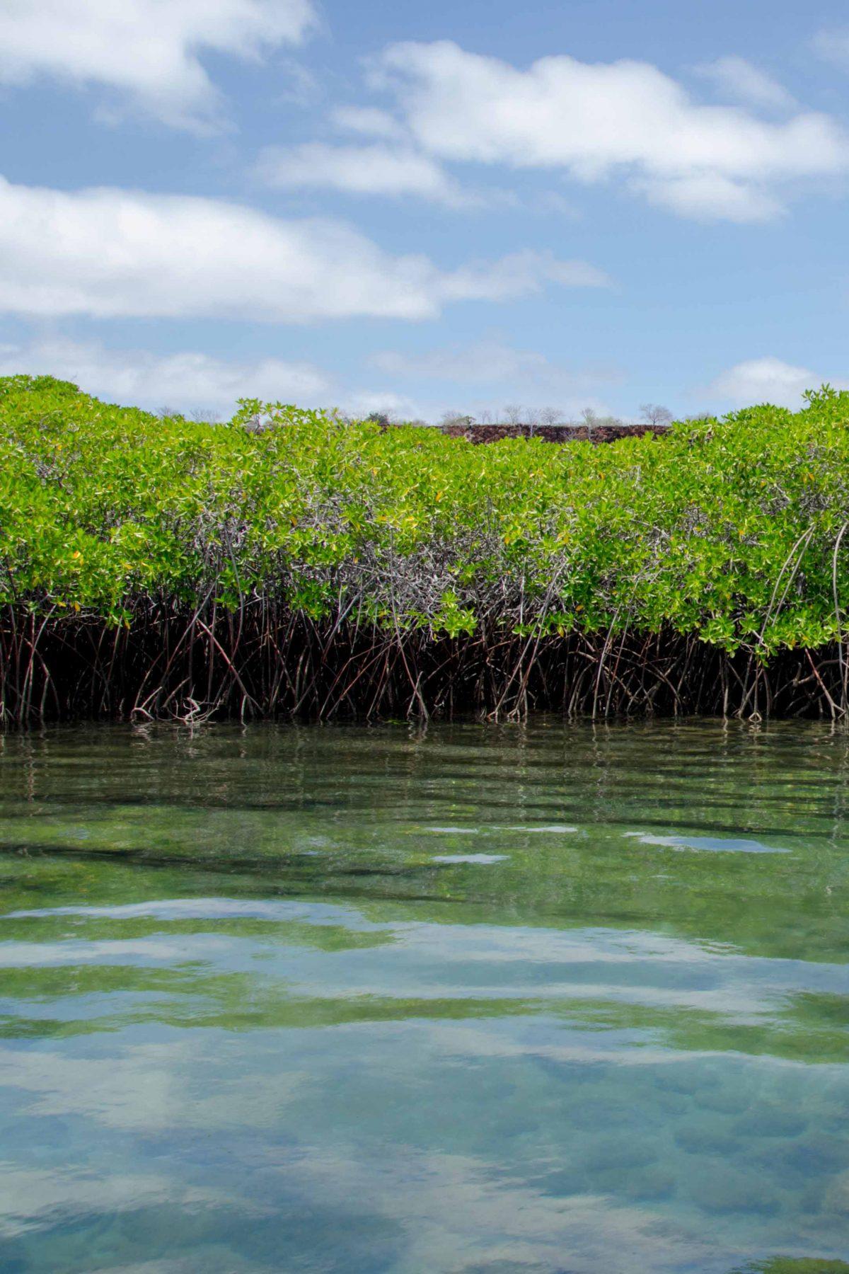 Mangroves along the Itabaca Canal, Santa Cruz Island, Galapagos | © Angela Drake